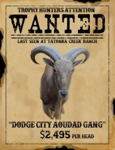trophy aoudad hunt in texas