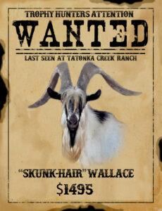 trophy texas ibex goat hunt