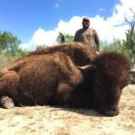 American buffalo bison hunt in texas