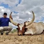 trophy watusi bull hunt in texas